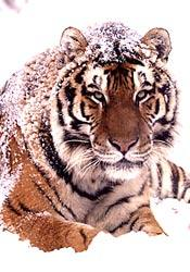 The first range-wide survey of Siberian tigers in almost a decade will provide important information about the species.